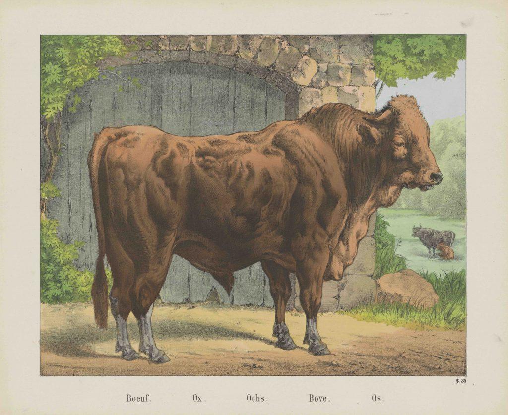 Bœuf, gravure de Jos. Scholz, 1829-1880, Rijksmuseum, Amsterdam